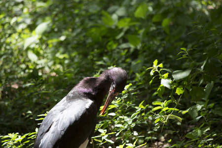 wade: Abdims stork (Ciconia abdimii) grooming Stock Photo