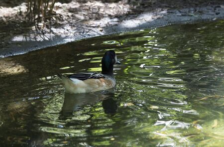 dabbling duck: American widgeon duck (Anas americana) swimming
