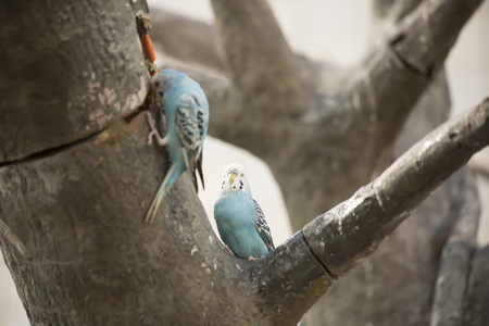 Blue and white budgie birds in a tree