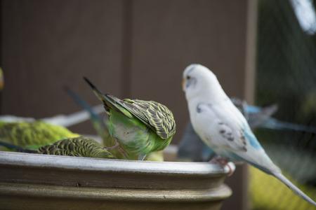 Budgie feeding among a flock Stock Photo