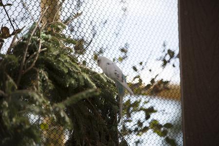 White and blue budgie bird on foliage