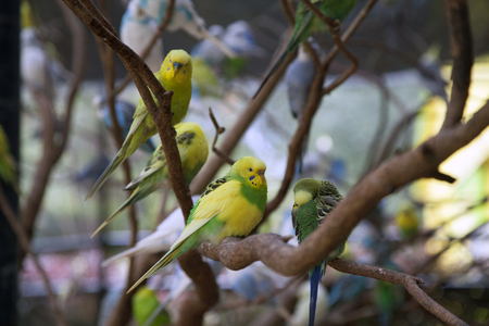 Budgies on branches