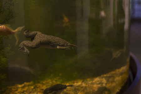 mozambique: African clawed frog (Xenopus laevis) swimming in a tank Stock Photo