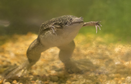 African clawed frog (Xenopus laevis) swimming in a tank Stok Fotoğraf