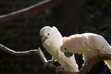 Two salmon-crested cockatoos Stock Photo