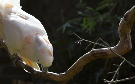Salmon-crested cockatoo feeding off branch