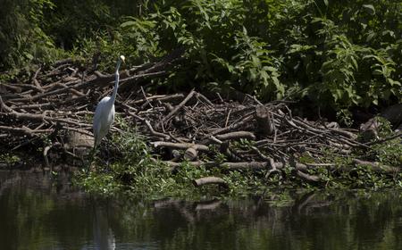 ardea: Greater egret (Ardea alba) near a pond shore