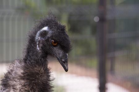 flightless: Close up of emu (Dromaius novaehollandiae) head and neck
