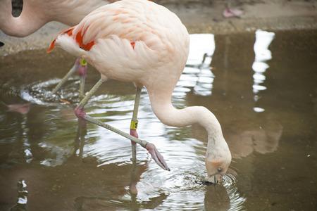 freshwater bird: Flamingo drinking from lagoon Stock Photo