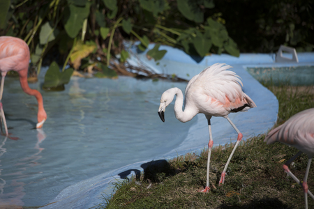 freshwater: Flamingo near a drinking pond