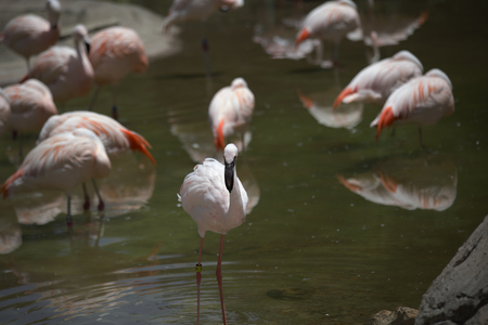 freshwater: Flamingo in foreground with the flock in the background Stock Photo