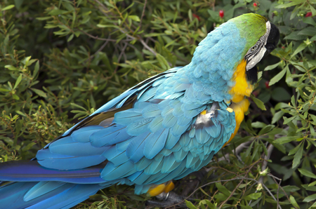 Blue and yellow macaw eating berries Reklamní fotografie