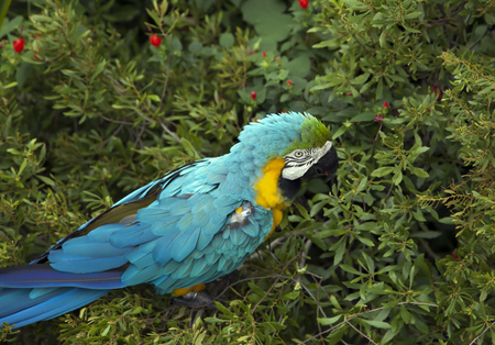 Blue and yellow macaw eating berries Stock Photo