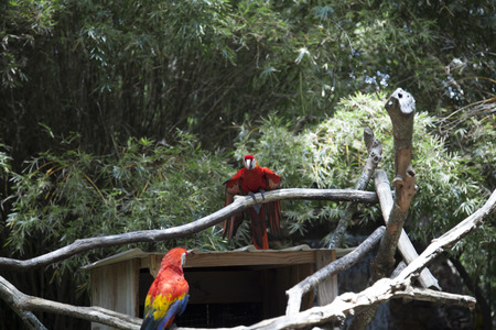 Scarlet macaws near a birdhouse