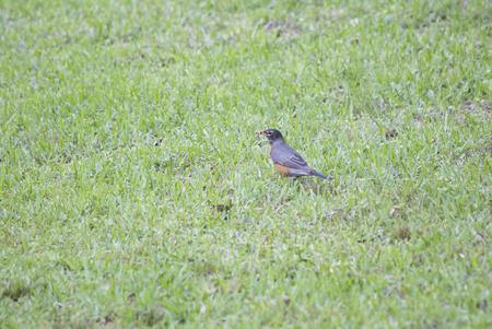 American robin on a lawn