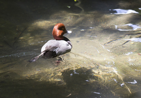 species living: Redhead duck swimming in a pond Stock Photo