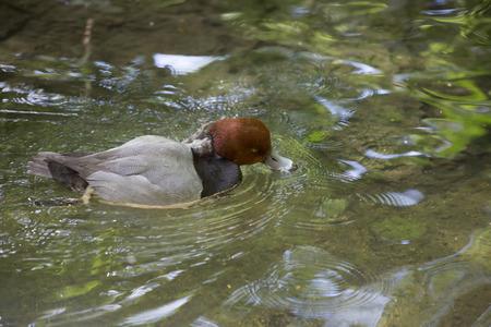 Redhead duck swimming in a pond 版權商用圖片