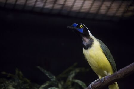 chrysops: Close up of a plush-crested jay (Cyanocorax chrysops) in a cage