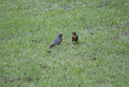 robin: One robin feeding another robin Stock Photo