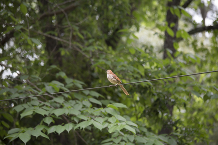 species living: Thrush bird on a wire
