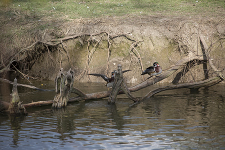 Wood ducks on a branch Stock Photo