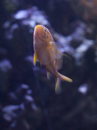 Blotched anthias (Odontanthias borbonius) swimming