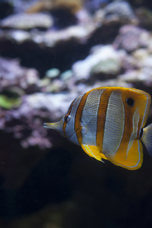 copperband butterflyfish: Close up of a copperband butterflyfish, also called a beaked coral fish and a longnose butterflyfish (Chelmon rostratus) Stock Photo