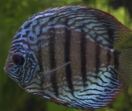 cichlid: Close up of a blue discus fish (Symphysodon aequifasciatus)