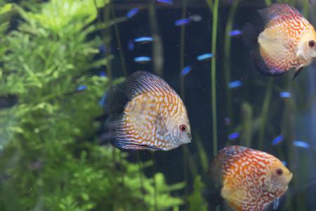 Close up of three discus fish