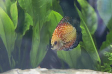 discus: Close up of an orange discus fish (Symphysodon discus) Stock Photo