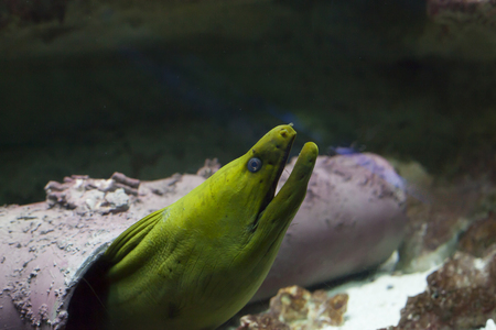 reefscape: Close up of a green moray eel (Gymnothorax funebris)