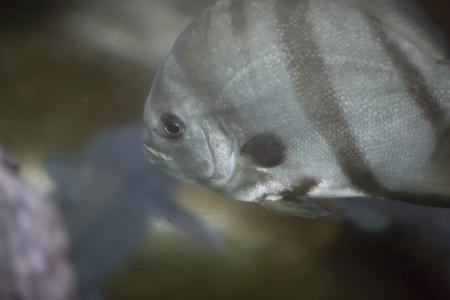 gills: Close up of an Atlantic spadefish (Chaetodipterus faber)