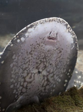 oceanic: Close up of a stingray