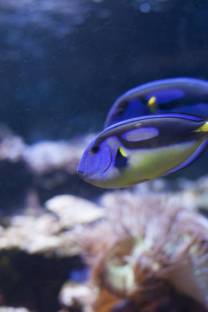hepatus: Yellow Belly Blue Tang (Paracanthurus hepatus)