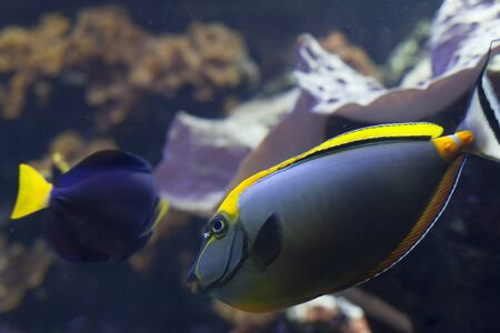 Blonde naso tang and damselfish Stock Photo