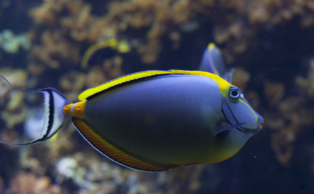 Blonde naso tang (Naso elegans) fish swimming Stock Photo