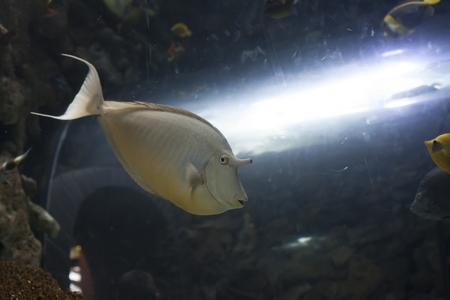 Unicorn fish: Unicorn tang fish swimming Stock Photo