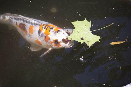 freshwater: Koi (Cyprinus carpio), also called nishikigoi, swimming toward food pellets at the top of the water