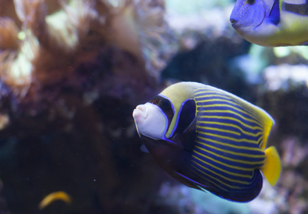 pomacanthus imperator: Close up of an emperor angelfish (Pomacanthus imperator) Stock Photo