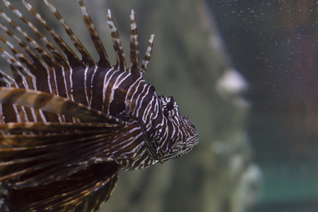 Close up of a lionfish