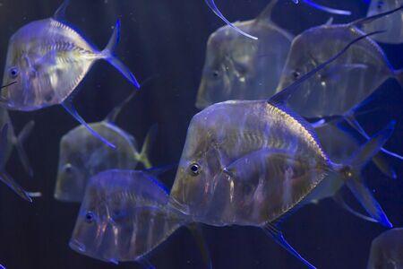 aquarist: School of lookdown fish (Selene vomer)
