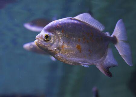 pygocentrus: Close up of a red-bellied piranha (Pygocentrus nattereri)
