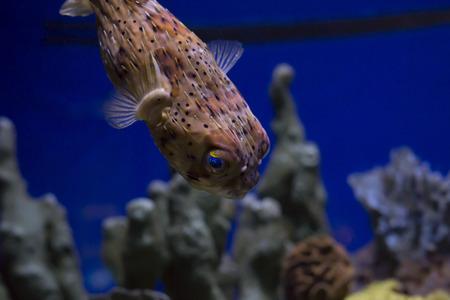 Cerca de un pufferfish Foto de archivo