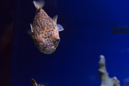 Close up of a pufferfish Stock Photo