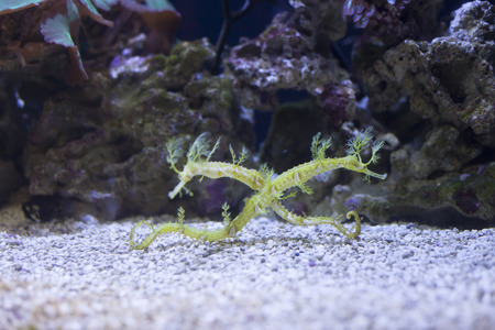 Close up of two seadragons