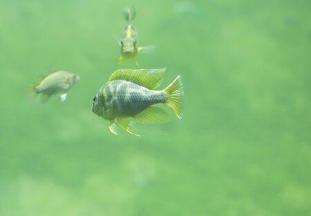 Zambezi river fish in freshwater