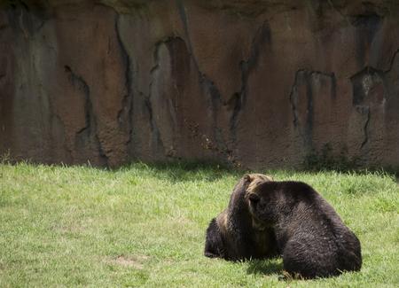 Brown bears (Ursus arctos) mating