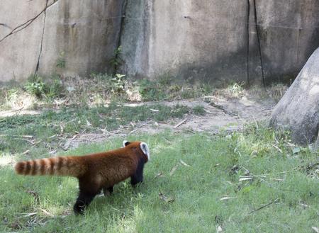 Red panda (Ailurus fulgens), or red bear-cat, walking away