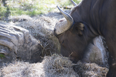 Cape buffalo (Syncerus caffer) grazing on hay