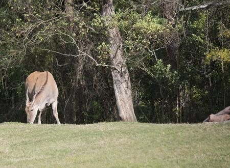 Eland antelope grazing 版權商用圖片